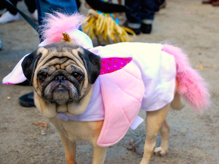 pug in a fairy costume