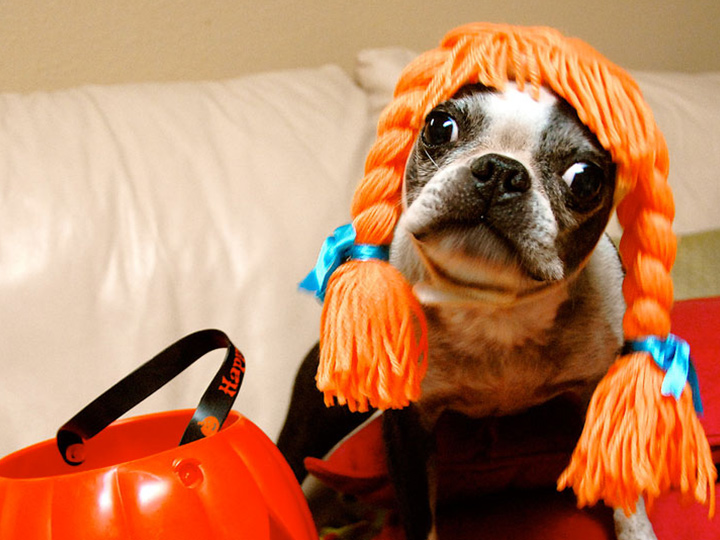 boston terrier in an orange yarn wig
