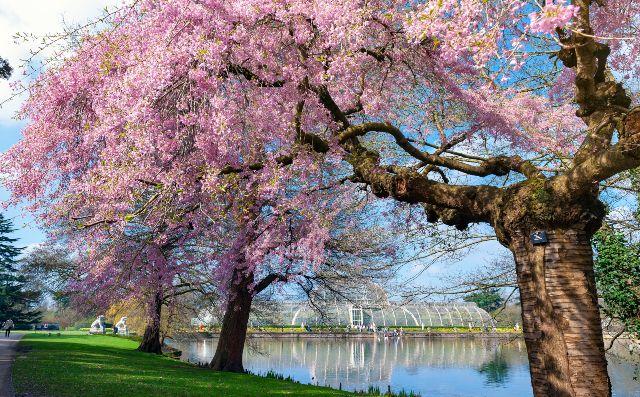 cherry blossom at kew