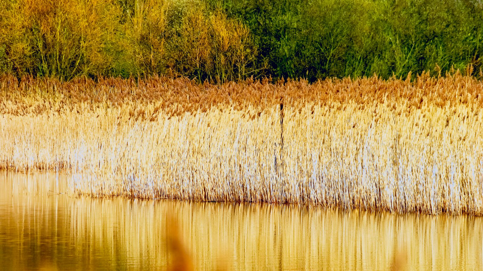 Bedfont lakes reed bed