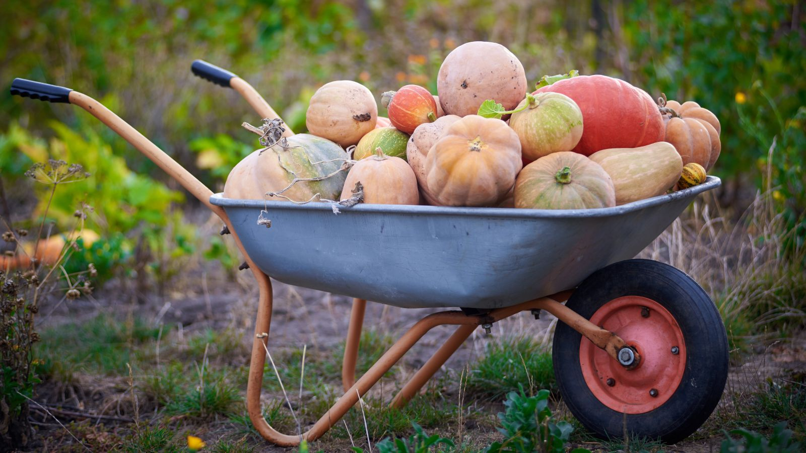 wheelbarrow full of pumpkins