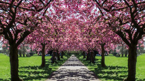 cherry-blossom, Greenwich