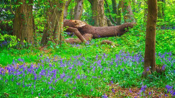 Bluebells in Highgate Wood