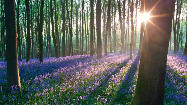 Heartwood Forest Bluebells