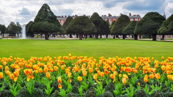 Tulips, Hampton Court Palace