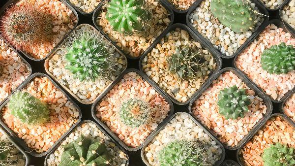 Many cactus on pot in a garden centre, Cacti, Cactaceae, Succulent