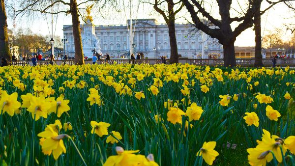 daffodils outside buckimgham palace, green park