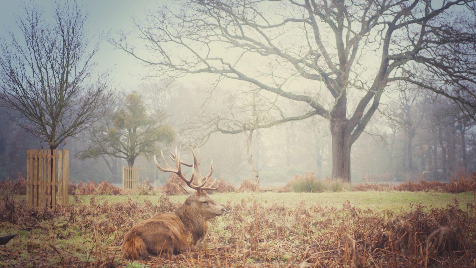 Deer at Bushy Park