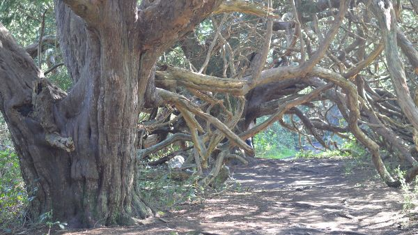 Ancient yew tree in Kingley Vale