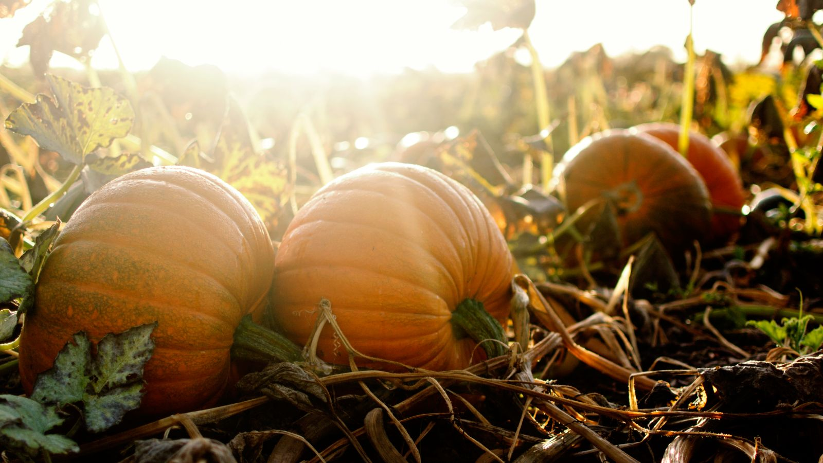 pumpkins in the autumn sunshine