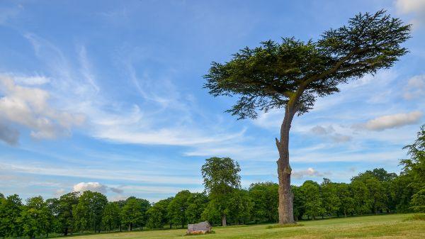 big tree in cassiobury park